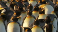 MS Shot of King Penguin Aptenodytes patagonicus in group / Volunteer Point, Falkland Islands