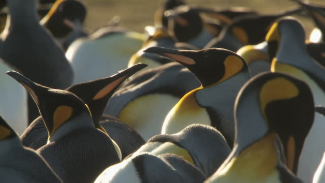 MS Shot of King Penguins Aptenodytes patagonicus adults in a group some preening / Volunteer Point, Falkland Islands