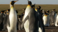 MS Shot of King Penguins Aptenodytes patagonicus fighting  / Volunteer Point, Falkland Islands