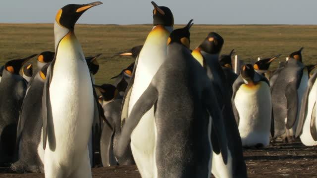 MS Shot of King Penguins Aptenodytes patagonicus fighting  / Volunteer Point, Falkland Islands