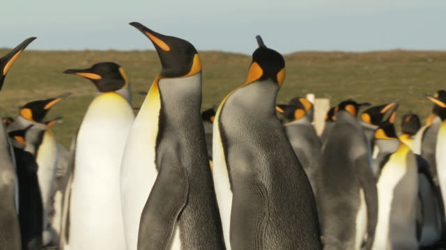 MS TS Shot of King Penguins Aptenodytes patagonicus walking about in group / Volunteer Point, Falkland Islands