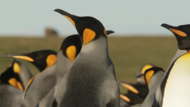 MS TS TD Shot of King Penguins Aptenodytes patagonicus walking about in group / Volunteer Point, Falkland Islands