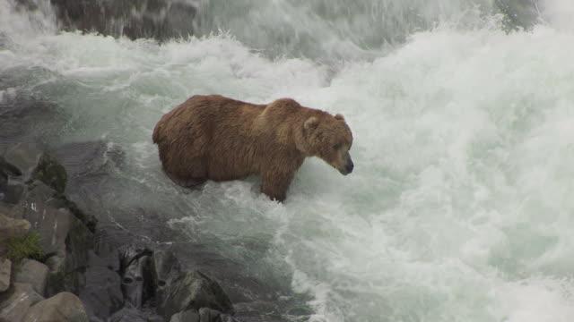 MS AERIAL Shot of Kodiak Brown Bear fishing in Dog Salmon Creek / Alaska, United States