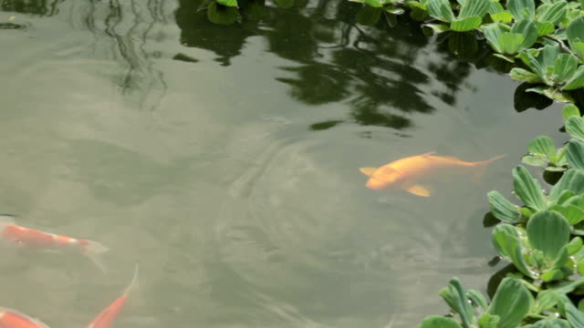 Shot of koi carps in the pond at Jeonju Hanongmaeul village