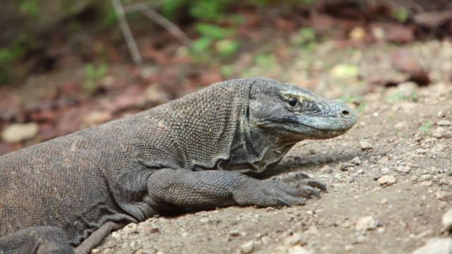 MS Shot of komodo dragon resting / Rinca Island,  Indonesia