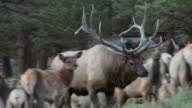 MS TS Shot of large bull elk moving through harem of cows during rut while bugling AUDIO / Estes Park, Colorado, United States