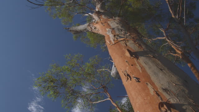 MS Shot of large treetrunk / Charles Darwin Reserve, Western Australia, Australia