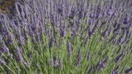 TD Shot of Lavender in field