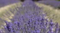 R/F Shot of lavender in field