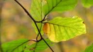 CU Shot of leaf at autumnal woodland / Freudenburg, Rhineland Palatinate, Germany