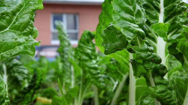 CU R/F Shot of leafy vegetables grow in a community garden in Khayelitsha township / Cape Town, South Africa