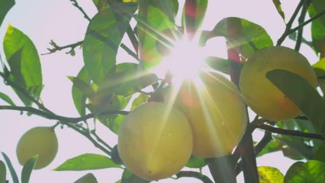 CU PAN Shot of lemons on tree and shining sun / Santa Cruz, California, United States