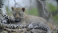 CU Shot of Leopard and cub sleeping on termite mound  / Kruger National Park, Mpumalanga, South Africa