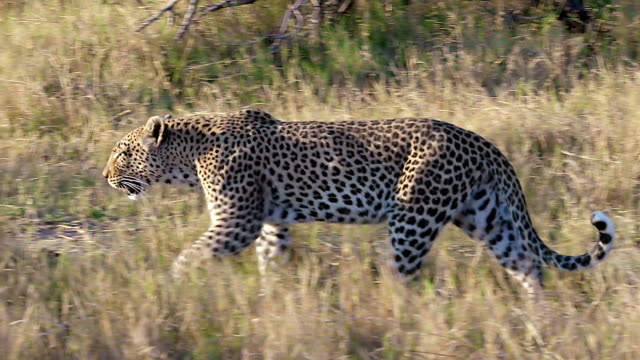 MS TS Shot of Leopard female walking away / Moremi Reserve, Botswana, South Africa