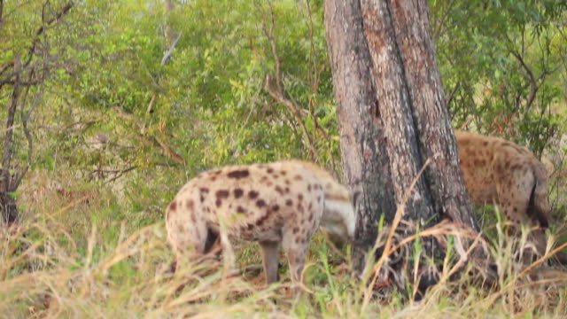 MS TD Shot of Leopard in tree with carcass and hyena jumping below / Kruger National Park, Mpumalanga, South Africa