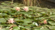 MS Shot of Lily pads floating in water / Delhi, India