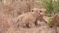 MS PAN SLO MO Shot of Lion cub nuzzling / Kruger National Park, Mpumalanga, South Africa