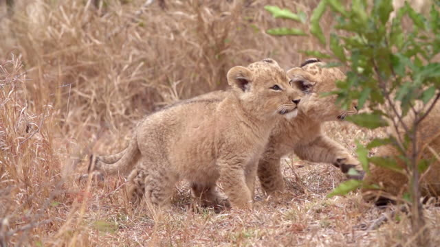 MS PAN SLO MO Shot of Lion cub nuzzling / Kruger National Park, Mpumalanga, South Africa