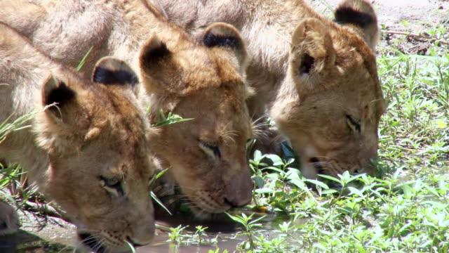 MS Shot of Lion cubs drinking / Kruger National Park, Mpumalanga, South Africa