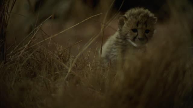 CU POV  Shot of lion cubs / Unspecified