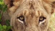 ECU Shot of Lion eyes / Kruger National Park, Mpumalanga, South Africa