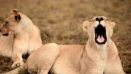 CU Shot of Lion lying down and yawning / South Africa
