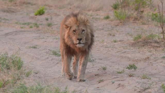 MS TS Shot of Lion walking  / Central Kalahari Game Reserve, Botswana