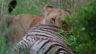 CU SLO MO Shot of  Lioness feeding on a Zebra / Pilanesberg, Gauteng, South Africa