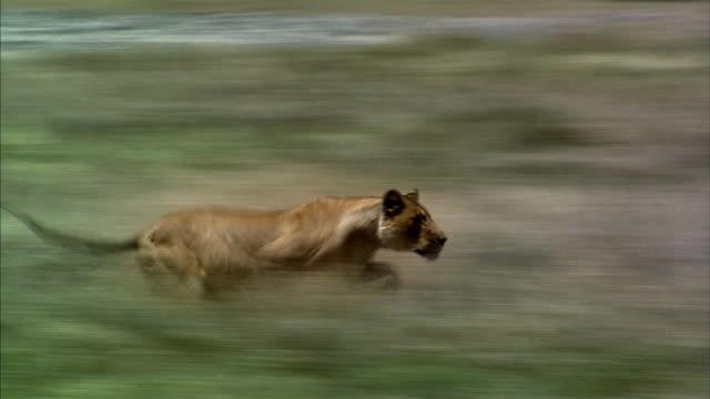 Shot of Lioness hunting Gazelle cub