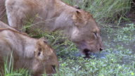 MS PAN Shot of Lions walking to drink / Kruger National Park, Mpumalanga, South Africa