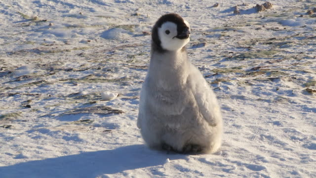 MS Shot of lone Emperor penguin chick on ice field looking around anxiously / Dumont D'Urville Station, Adelie Land, Antarctica