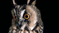 ECU Shot of Long Eared Owl (asio otus ) Portrait of Adult looking around / Vieux Pont en Auge, Normandy, France