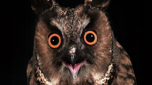 CU Shot of long eared owl with open beak / Vieux Pont en Auge, Normandy, France