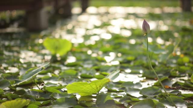 Shot of lotus flowers