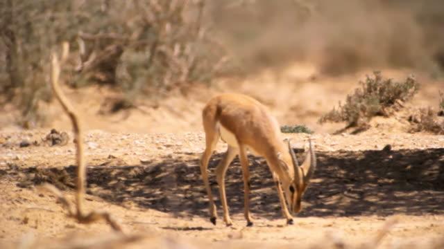 MS Shot of male dorcas gazelle (Gazella dorcas) standing under Acacia tree in desert / Yotvata, Negev Desert, Israel