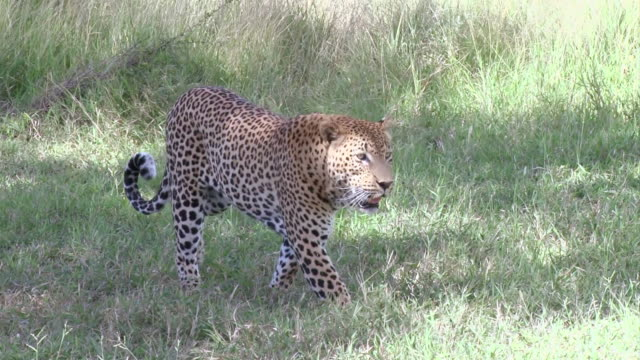 MS TS Shot of Male leopard walking through grass  / Kruger National Park, Mpumalanga, South Africa