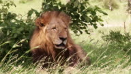 MS Shot of Male lion resting / Kruger National Park, Mpumalanga, South Africa
