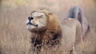 MS SLO MO Shot of Male lion stalking / Kruger National Park, Mpumalanga, South Africa