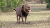 WS SLO MO Shot of Male Lion vocalizing / Kruger National Park, Mpumalanga, South Africa