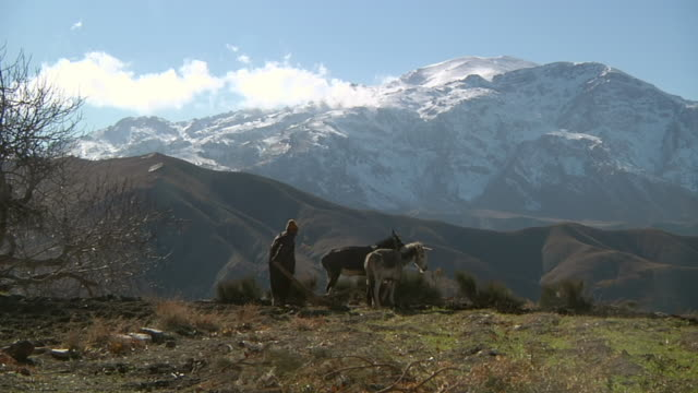 MS TS Shot of man leading two working mules through soil in front of atlas mountains / Marrakech, Tensift, Morocco