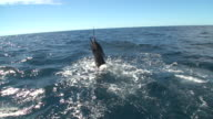 MS PAN LA Shot of man reeling fly rod reel with large sailfish on ocean thrashing out of water / Iztapa, Guatemala