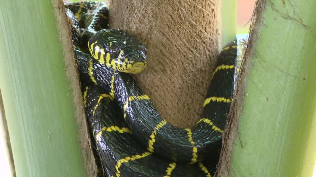 MS Shot of Mangrove snake coiled in palm tree / Pulau Tiga, Sabah, Malaysia