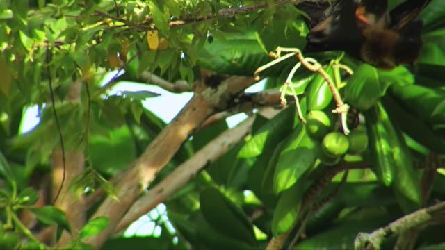 MS PAN TS Shot of Masked Flying Fox (Pteropus vampyrus) or Fruit bat climbing around on branch feeding / South Africa
