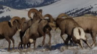 MS  shot of massive bighorn sheep rams (Ovis canadensis) butting heads in the snow