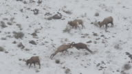 WS/SLOMO  shot of massive bighorn sheep rams (Ovis canadensis) butting heads in the snow