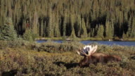 MS Shot of massive bull moose (Alces alces) grazing in willo with antlers flashing in morning light near lake / Ward, Colorado, United States