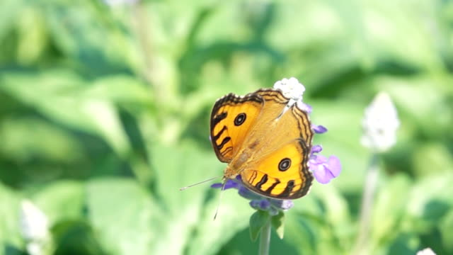 SLO MO Shot of Monarch butterfly from purple flower / Bangkok, Thailand.