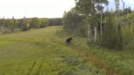 MS AERIAL TS Shot of Moose running of aspen trees / Winter Park, Colorado, United States
