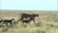 Shot of mother Cheetah and its cubs at Serengeti