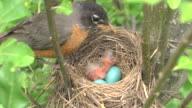 CU Shot of mother robin feeds worm to chick next to two unhatched eggs in nest / Chelsea, Michigan, United States
